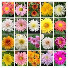 Chrysanthemum Winterhart Staude MIX 8versch. Sorten Winteraster 8x