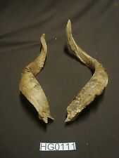 Nice large goat horns hill country outdoors rustic decor Hg0111