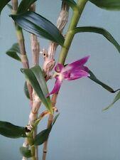 Dendrobium Victoria Reginae, blue orchid, live plant