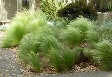 10 X Carex Frosted Curls Garden Plants Grass