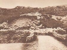 G0115 Great Britain - Moutons dans le Hates-Terres - Stampa d'epoca - 1923 Print