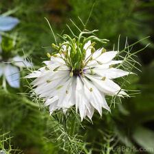 FLOWER NIGELLA LOVE IN A MIST - WHITE 2 GRAM ~ 1000 SEEDS
