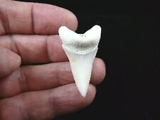 "(s406-8) 1-3/4"" Modern Great White Shark Tooth Teeth Jewelry Sharks Pendant"
