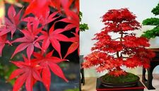 Acer palmatum 'Osakazuki' (Japanese Maple) 5 Viable Seeds - Perfect as a Bonsai