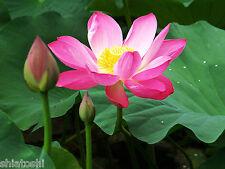 SHIATOSHI-10 Sacred lotus ,Nelumbo Seed , Indian National Flower .SF-4998
