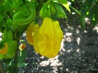 Madame Jeanette Surinam Yellow gelbe Chilli ultrascharfe Chili Fruchtaroma