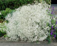 Gypsophila Paniculata (Baby's Breath) - 1000 Seeds - Hardy Perennial