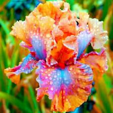 2 Iris Bulbs Rhizomes Perennial Flowers Bearded Stunning Rare Resistant Bonsai