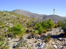 1 Plant Dasylirion longissimum var. inermis Ornamental Plant no aloe agave