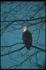 135064 Bald Eagle Sitting In Tree A4 Photo Print
