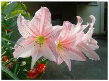 2 Bulbs Amaryllis Hippeastrum Star Lily Fresh Rare Plant