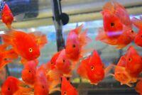 Blood-red Parrot Cichlid - Live