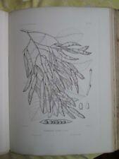 Vintage Print,PLATE 120,YELLOW WOOD,Silva,Trees,1st Ed.c1900