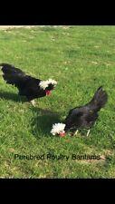 6+ Bantam Hatching Eggs White Crested Black Polish (Show Birds)