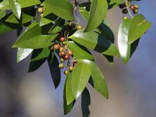 Lanceleaf Greenbrier   Smilax smallii   Organic   10 Seeds  (Free US Shipping)