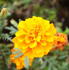 French Marigold Seed 50 Seeds Yellow Tagetes Patula Flower Garden Seeds Hot A094