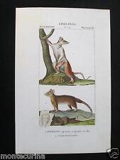 1847 ca didelfo opossum marsupiali zoologia stampa acquerellata engraving D198