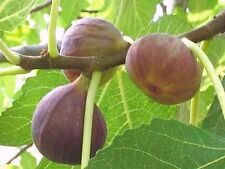 2 BROWN TURKEY FIG TREES LIVE STARTER PLANTS LARGE FIGS EDIBLE FRUIT LANDSCAPING