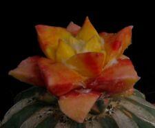 "20 Korn  *VARIEGATA* Ariocarpus ""speciosus"" Kakteen Kaktus Astrophytum"