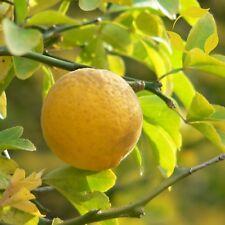 WINTER HARDY ORANGE Poncirus Citrus Trifoliata - 10+ SEEDS