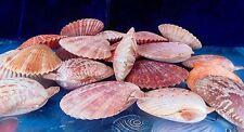 "FOUR (4)  PECTEN NOBILIS PAIRS 3 to 3-1/2"" SEA SHELL  BEACH DECOR CRAFT TROPICAL"
