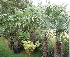 Trachycarpus fortunei Größe 160 bis 180 cm schöne Kräftige Pflanzen Qualität 1A
