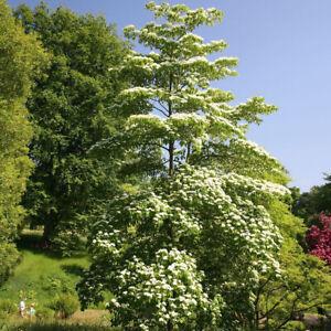 Wedding Cake Tree-Cornus controversa Plant in 9 cm Pot