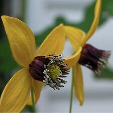 Clematis serratifolia • 30 Samen/seeds • Waldrebe•Kletterpflanze•Duft•winterhart