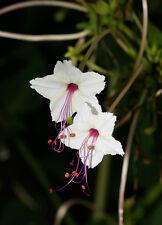RARE 4 graines MARAVILLA DU MEXIQUE(Mirabilis Longiflora)G438 SEED SAMEN SEMILLA