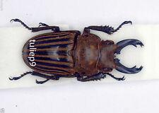 Lucanidae - Stag Beet;e - Odontolabis striata sp (m) -  N.Borneo - V.Rare (OSS1)