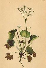 Alpine Flores: Pimpinela rotundifolia L-rundblättriger steinbrech; impresión 1897