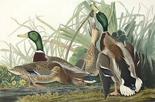 Audubon Reproductions: Birds of America - Mallard Duck - Fine Art Print