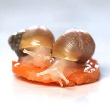 X2 Baby Giant African Land Snails ALBINO + cuttlefish bone