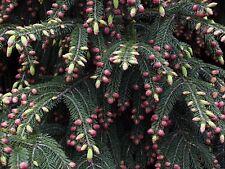Picea wilsonii WILSON SPRUCE TREE Seeds!