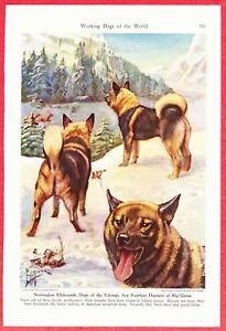1941 Dog Print ~NORWEGIAN ELKHOUND by Edward Herbert Miner ~Dogs of the Vikings;