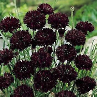 Cornflower- Black- 100 Seeds- BOGO 50% off SALE
