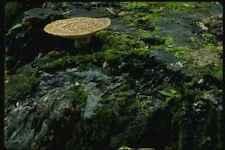 158089 Dryads SELLA polypore su ceppo A4 FOTO STAMPA
