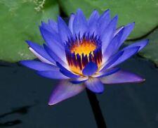 Purple Yellow Water Lily Bowl Lotus Seeds (2pcs)