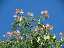 ☺20 graines d albizia / arbre à soie/ mimosa de Constantinople