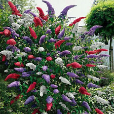 BUDDLEIA TRICOLOUR 3 MIXED COLOURS BUTTERFLY GARDEN BUSH PLANTS IN 9CM POTS