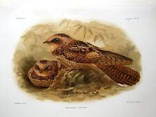COLLARED NIGHTJAR,CAPRIMULGUS ENARRATUS  KEULEMANS Orig.Antique Bird Print c1880