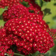 50+ Red Achillea Flower Seeds / Perennial
