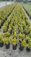 Evonimo - Euonymus Aurea - Evonium vaso 17 (OFFERTA 25 piante)