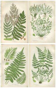 Lot of 4 Original Antique Victorian PRATT Fern Prints Botanical 1862 - Lot 55