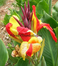 Canna Lily CLEOPATRA Red Yellow Plant Rhizome Bulb Live Plant Tropical Foliage