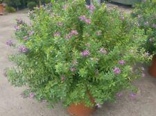 pianta da fiore polygala mirtifolia poligala mirtifoglia mirto cespuglio arbusto