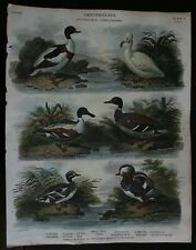 Ornithology Mallard/Duck Hand Coloured Original Copper Plate Published 1807