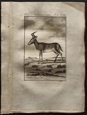 1799 - Buffon - Le rubale - Gravure zoologie