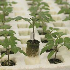 Kings Seeds - Tomato Rootstock Estamino F1 - 12 Seeds