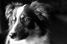 Lámina-Malamute De Alaska Cachorro Blanco Y Negro (Foto Poster Animal Arte)